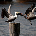 Pelican Fight by Michael Herb
