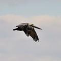 Pelican Flight by Al Powell Photography USA