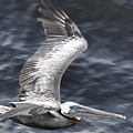 Pelican Flight by Glenn Gordon