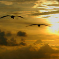 Pelican Flight Into The Clouds by Michael Thomas