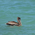 Pelican Floating In The Tropical Waters In Aruba by DejaVu Designs