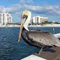 Pelican -florida by Adrian DeLeon