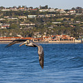 Pelican Flying Above The Pacific Ocean by Ruth Jolly