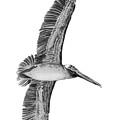 Da136 Pelican Flying Overhead Daniel Adams by Daniel Adams