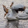 Pelican Having Supper by Deb Fedeler