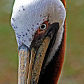 Pelican Head by Michael Thomas
