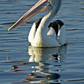 Pelican by Himani - Printscapes