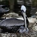 Pelican Hug by Barbara Bowen