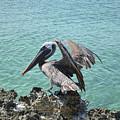 Pelican In Aruba Landing On Lava Rock by DejaVu Designs