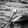 Pelican In Black And White by Michael McStamp