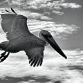 Pelican In Flight by AJ Schibig