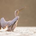 Pelican In The Water  by Alon Meir