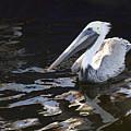 Pelican by Jody Lovejoy
