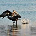 Pelican Landing by Kelly Foreman