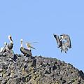 Pelican Landing On A Rock by Marv Vandehey