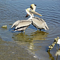 Pelican Love by Suzanne Gaff