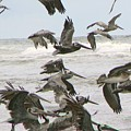 Pelican Migration  by Pamela Patch