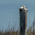 Pelican On A Piling by Nancy Comley