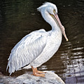 Pelican On Black by Anita Hubbard
