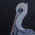 Pelican On Black by Virginia Craig