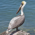 Pelican On Rock by Bob Slitzan
