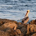 Pelican On The Rocks by Sabrina L Ryan