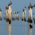 Pelican Pilings by Val Jolley