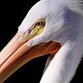 Pelican Portrait by Bruce J Robinson