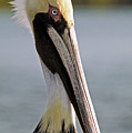 Pelican Portrait by Sally Weigand