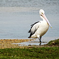 Pelican Pose by Catherine Reading