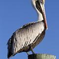 Pelican Pose by Jim Clark