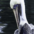 Pelican Profile by Shutter Click Photography