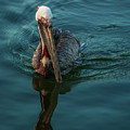 Pelican Reflection by Tom Claud