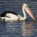 Pelican by Renee Miller