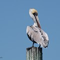 Pelican Side Pose by Judy  Waller