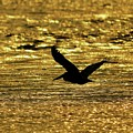 Pelican Silhouette - Golden Gulf by Al Powell Photography USA