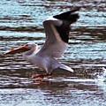 Pelican Skimming The Rock River by Laura Birr Brown