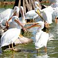 Pelican Squabble by Carol Groenen