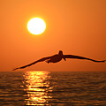 Pelican Sunset by David Lee Thompson