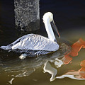 Pelican Swim by Jody Lovejoy