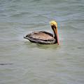 Pelican Swimming  by Deborah Weinhart