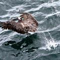 Pelican Takes Off by Robert Selin
