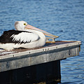 Pelican Taking Time Out 691 by Kevin Chippindall