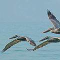 Pelican Trio by Sherry Butts