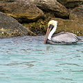Pelican Trolling by Sally Weigand