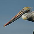 Pelican Upclose by Ernie Echols