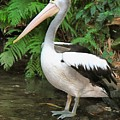 Pelican With A Bird Park In Bali by Sergey Lukashin
