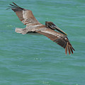 Pelican With His Wings Extended Over The Tropical Aruban Waters by DejaVu Designs