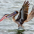 Pelican With Lunch by Wolfgang Stocker