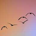 Pelicans by Alexander Fedin